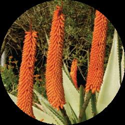 aloe ferox plant